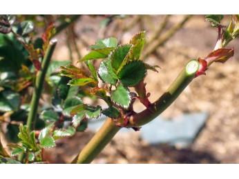 Уход за розами весной. Как произвести обрезку, подкормку растений