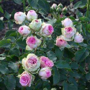 Саженцы роз сорт Мими Эден