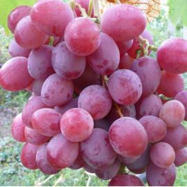 Виноград сорт Анюта