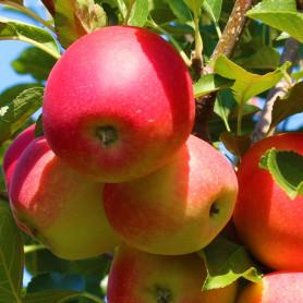 Яблоня сорт Гала Бакей