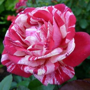 Саженцы роз сорт Папагено (Papageno)