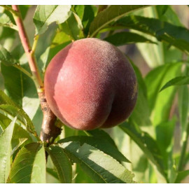 Персик сорт Шугар Тайм
