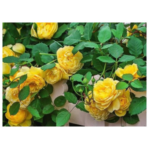 Саженцы роз сорт Вьючка Желтая