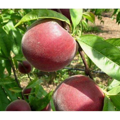 Персик сорт Саджитария