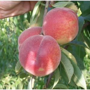 Саженцы персика сорт Франсуаза
