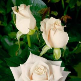 Саженцы роз сорт Венделла