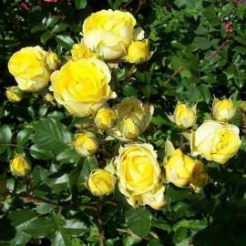 Саженцы роз сорт Желтая Спирейка
