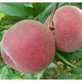 Саженцы персика сорт Эрли крест