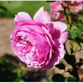 Саженцы роз сорт Аленушка