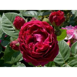 Саженцы роз сорт Аскот