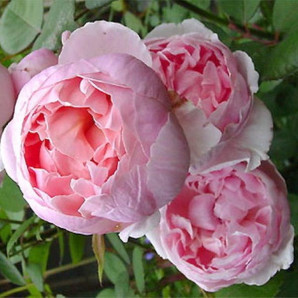 Саженцы роз сорт Бразе кад Фаель
