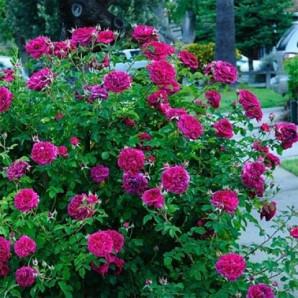 Саженцы роз сорт Вильям Шекспир