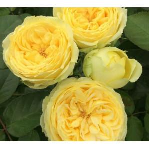 Роза спрей Каталина