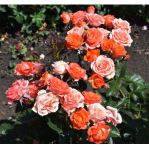 Саженцы роз сорт Климантино