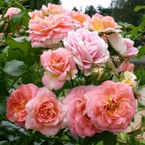 Саженцы роз сорт Концерто