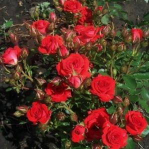 Саженцы роз сорт Мирабель