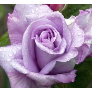 Саженцы роз сорт Сиреневый туман