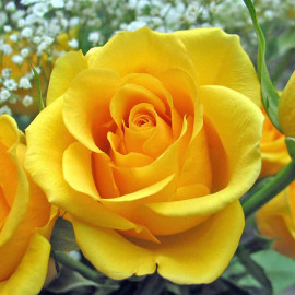 Саженцы роз сорт Керио