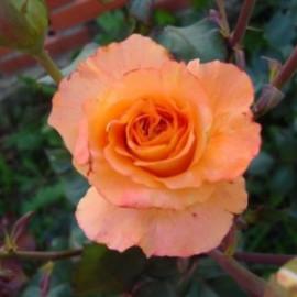 Саженцы роз сорт Дорис Тистерман