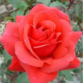 Саженцы роз сорт Дуфтвольке