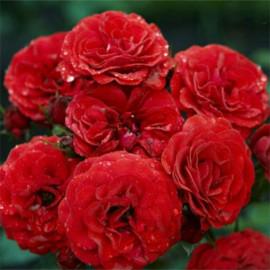 Саженцы роз сорт Кордула