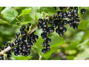 Польза черной смородины и ее лечебные свойства