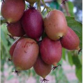 Актинидия сорт Пурпурная, 1 лет Р9