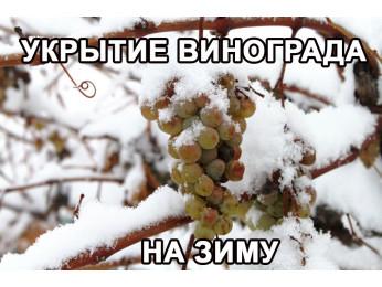 Укрытие винограда на зиму. Схемы укрытия и рекомендации