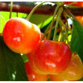 Саженцы черешни сорт Приусадебная