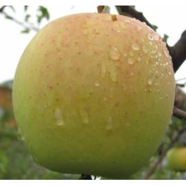 Яблоня зимняя сорт Голден Делишес Рейнджерс