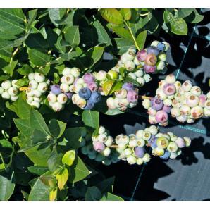 Саженцы голубики сорт Легаси 4 летняя, пакет 7,5 л