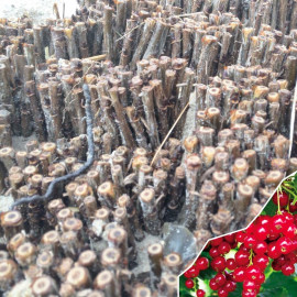 Черенки смородины сорт Детван