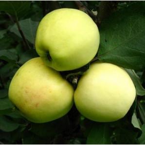 Яблоня зимняя сорт Кальвиль снежный