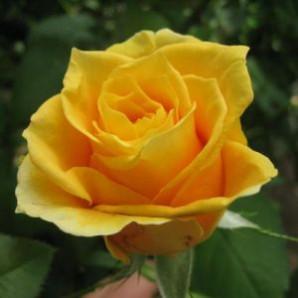 Саженцы роз сорт Papillon (Папилон)