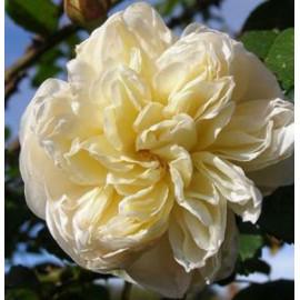 Саженцы роз сорт Перпешуали Йорс
