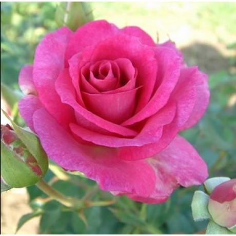 Саженцы роз сорт Climbing Violette Parfumе (Плетистий Виолет Парфюм)