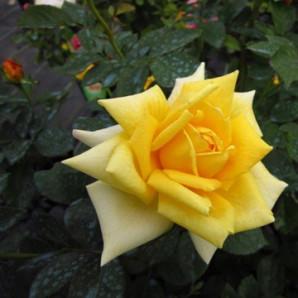 Саженцы роз сорт Berolina (Беролина)