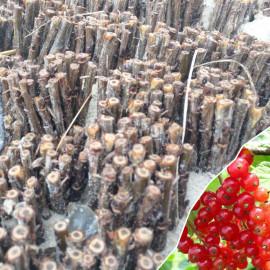 Черенки смородины сорт Ролан