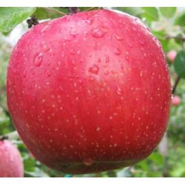 Яблоня зимняя сорт Фуджи Кику 8