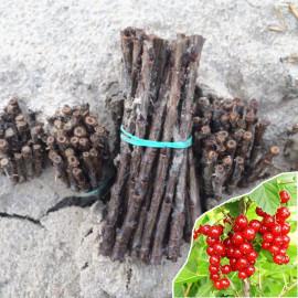 Черенки смородины сорт Джонкер ван Тетс