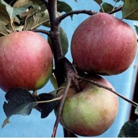 Яблоня зимняя сорт Внучка
