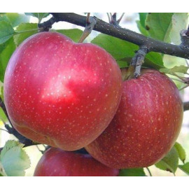 Яблоня зимняя сорт Адамс Епл, подвой 54-118