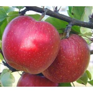 Яблоня зимняя сорт Адамс Епл
