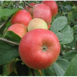 Яблоня зимняя сорт Арива