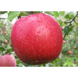 Яблоня зимняя сорт Бени Шогун