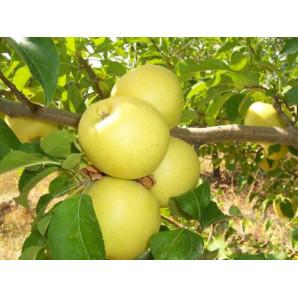 Яблоня зимняя сорт Богемия Голд