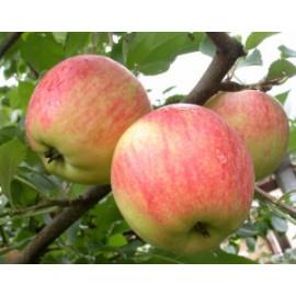Яблоня летняя сорт Дельбарстиваль