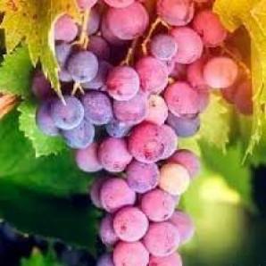 Виноград сорт Бодрый