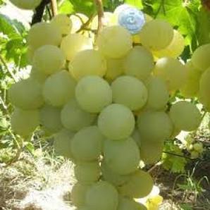 Виноград сорт Антоний Великий