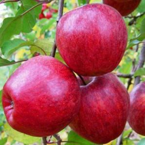 Яблоня зимняя сорт Камео